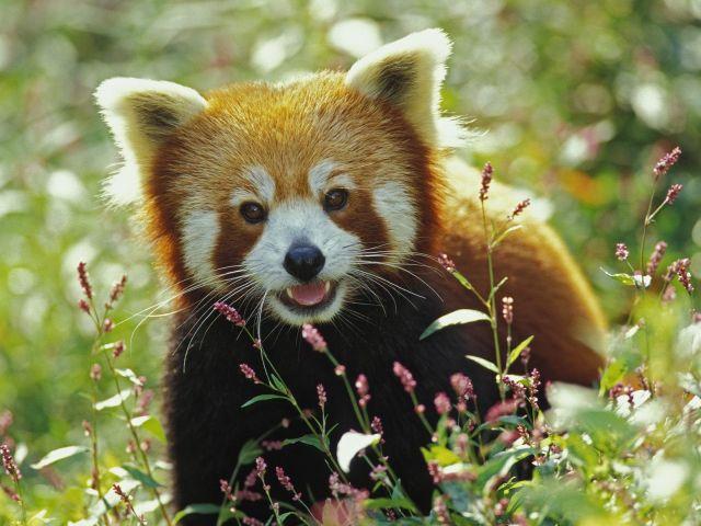 hi-red-panda