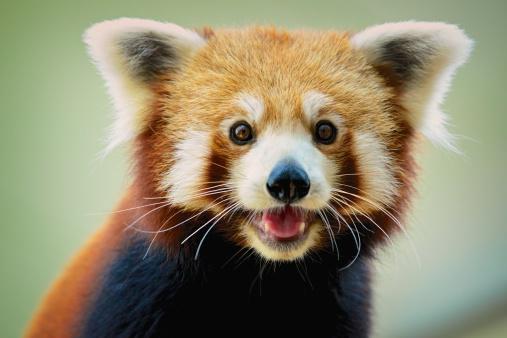 red-panda-sweet-16
